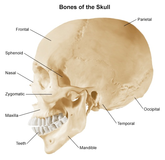 That   s my skull  that is Occipital Bone Unlabeled